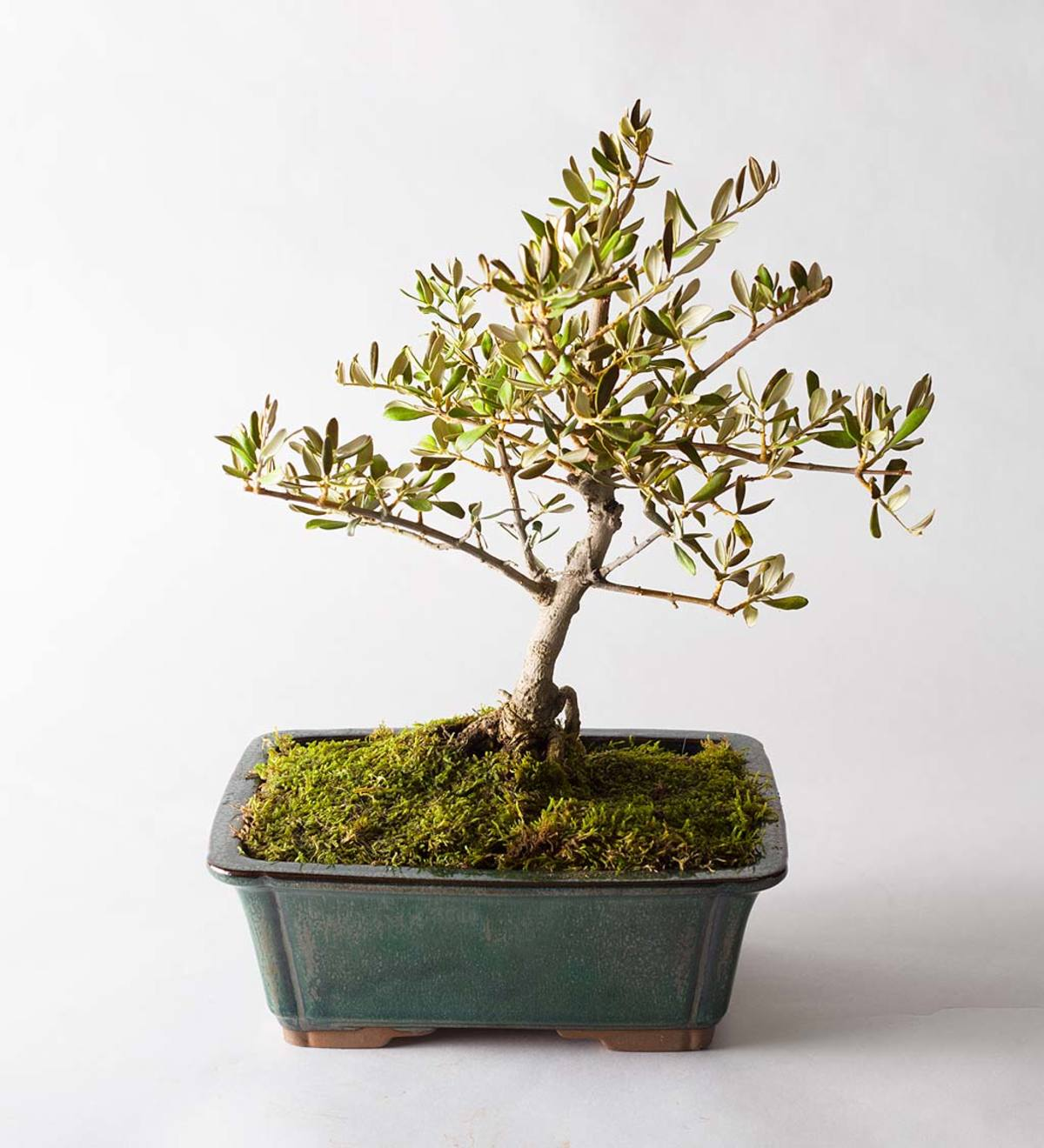 Large Olive Bonsai Tree in Planter