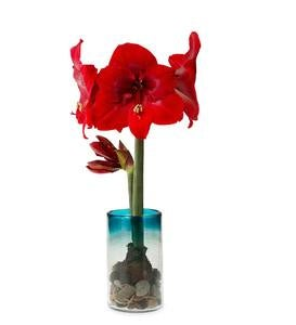 Amaryllis in Maya Recycled Glass Vase Set - Aqua