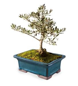 Small Olive Bonsai Tree in Planter - Aqua