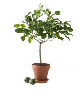 Miniature Potted Citrus Tree - Lemon