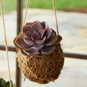 Single Assorted Succulent Kokedama String Garden