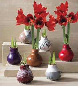 No-Water Wax Dipped Amaryllis Bulb