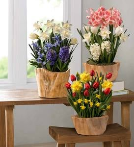 Spring Gifting Flower Bulbs in Root Bowl