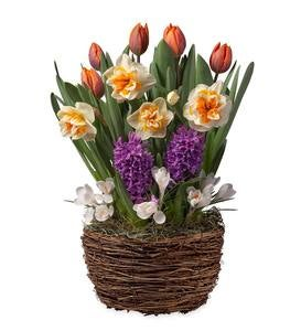 Peach Swirl Bulbs in Root Bowl Basket