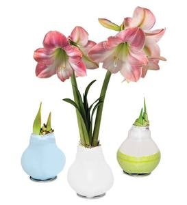 No-Water Wax Dipped Amaryllis Bulbs