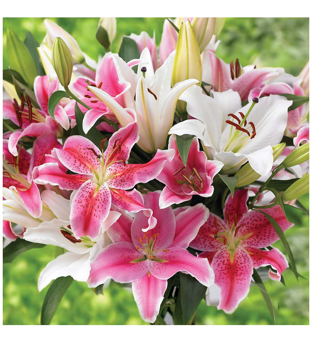 Big Blooms Lily 30-Bulb Collection in Pinks and Whites