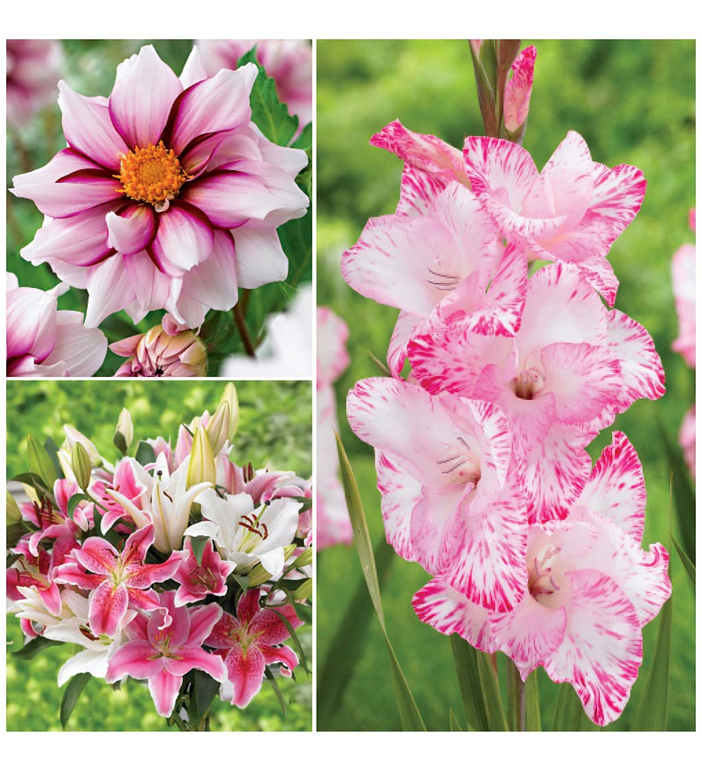 Collection of 25-Bulbs for Pink Butterfly-Attracting Flowers