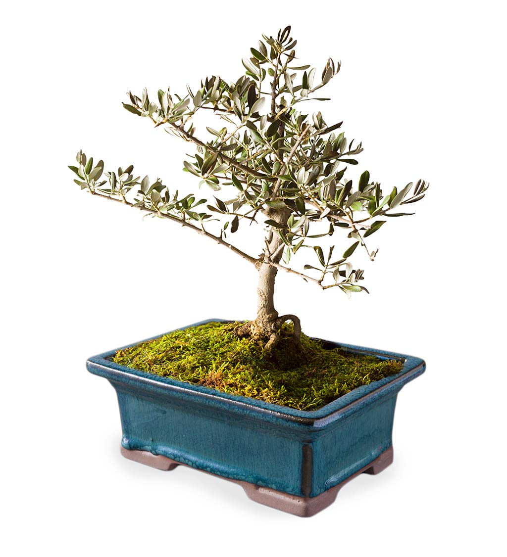 Small Olive Bonsai Tree in Planter