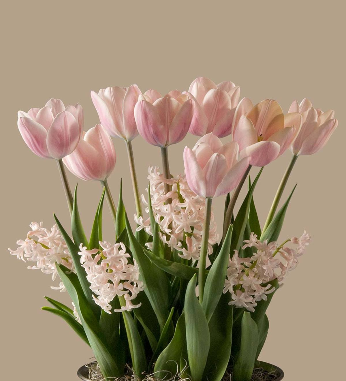 February Apricot Beauty Tulips & China Pink Hyacinths Bulbs in Seagrass Basket