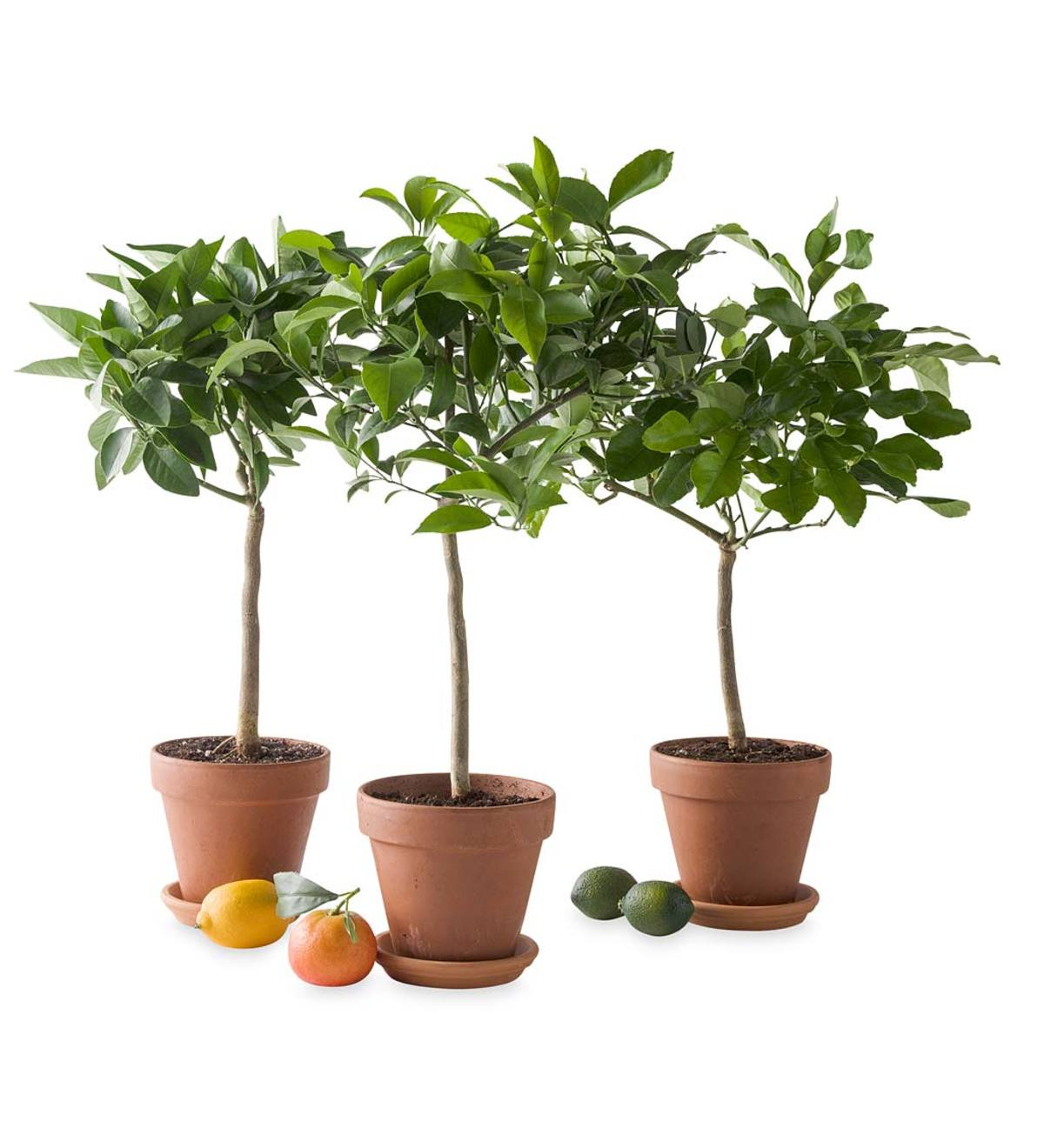 Miniature Potted Citrus Tree