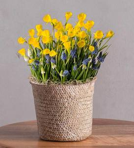 January Narcissus and Hyacinths Bulb in Seagrass Basket